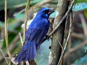 Villa Lobos Choros 10 Azulão da amazônia
